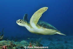 Green Sea Turtle by Mark Hoevenaars 